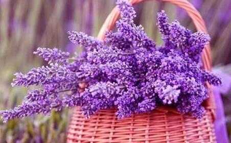 各品种薰衣草的区别,影响精油品质的因素都有哪些?